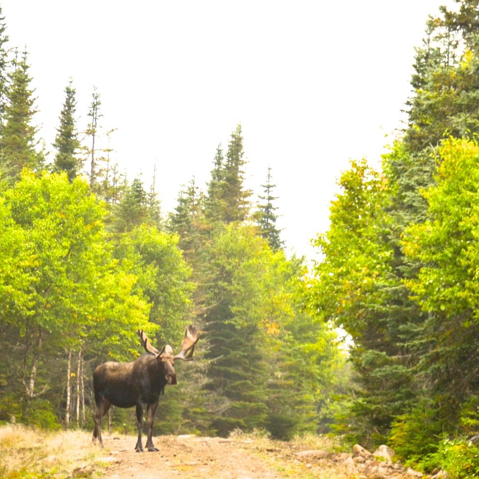 Moose. Québec, Canada