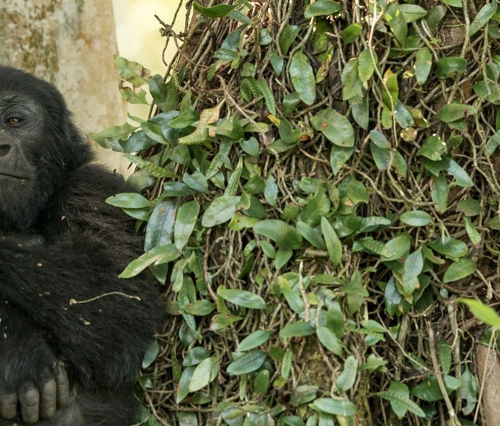 Young Gorilla. Uganda. Photo cred: my Dad