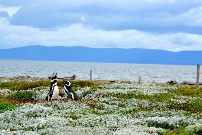 Penguins of Seno Otway