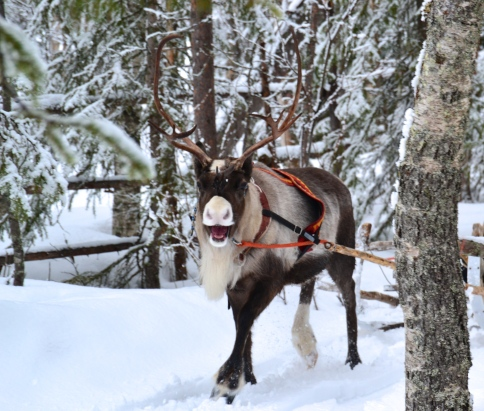 Reindeer, enjoying his ride. Like, really enjoying it.